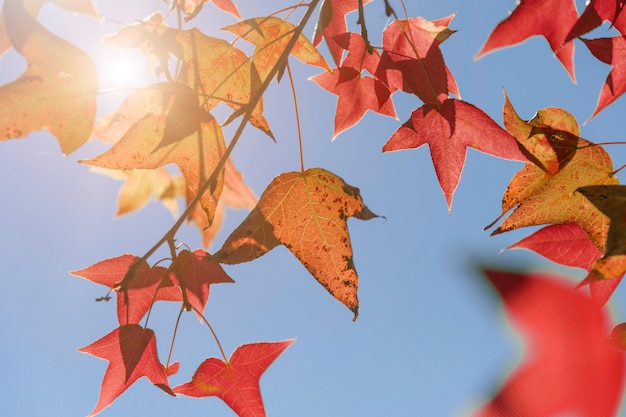 Autumn leaves, very shallow focus, maple leaf and blue sky at asia