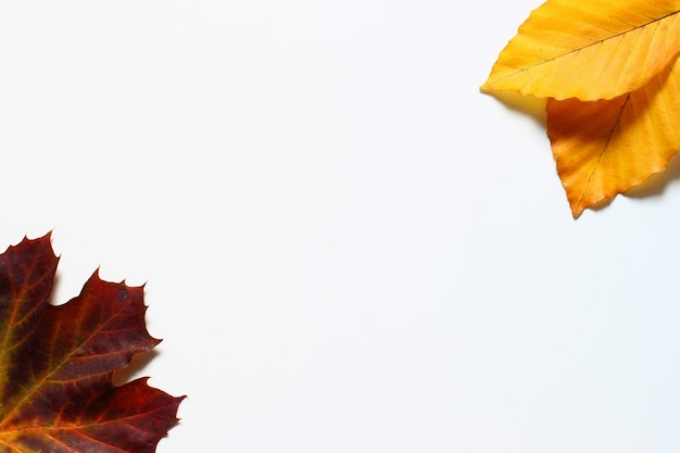 Autumn leaves on a white background copy space