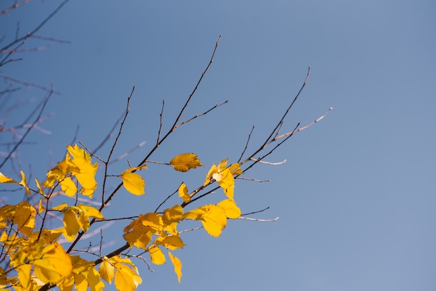 Autumn leaves with the blue sky, yellow bright colorful leaves and branches, fall themes