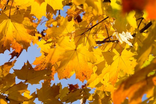 Осенняя листва клена