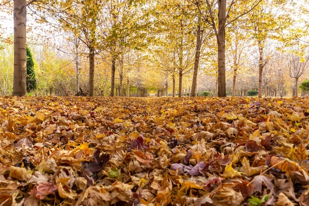Autumn maple forest in qingdao
