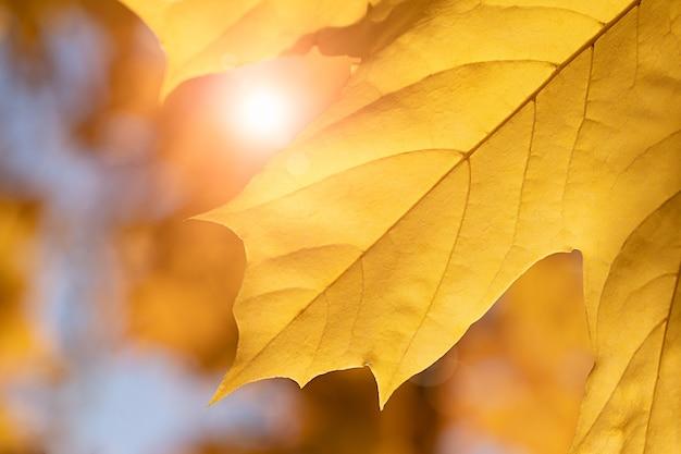 Осенний кленовый лист и солнечные лучи