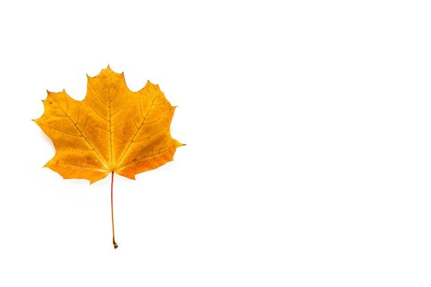 가 메이플 리프 흰색 배경에 고립입니다. 템플릿 모형 가을, 할로윈, 추수 감사절 개념. 평면 위치, 평면도, 복사 공간 배너