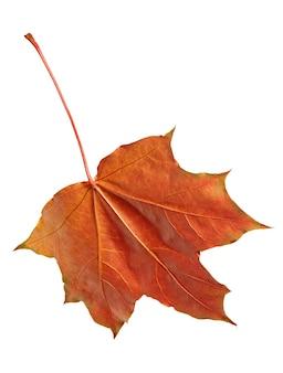 Осенний кленовый лист, изолированные на белом фоне