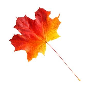 Осенний кленовый лист изолированные Premium Фотографии