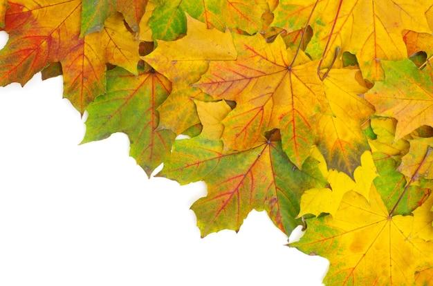 白で隔離される秋のカエデの葉