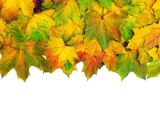 Осенние кленовые листья, изолированные на белом фоне