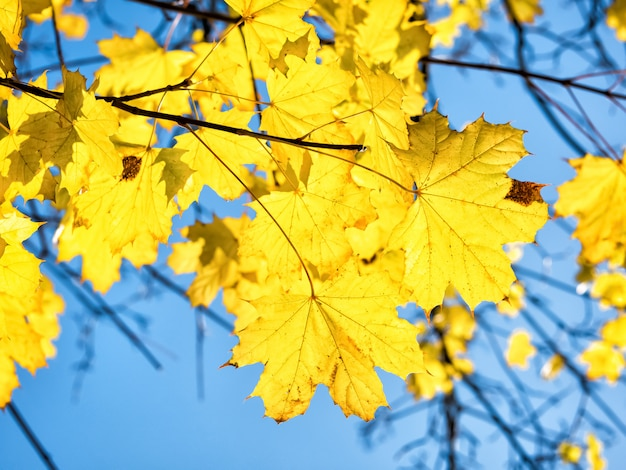 Autumn maple leaves against blue sky background