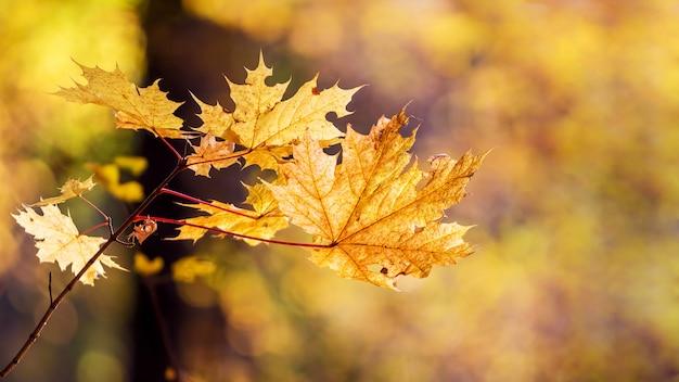 ぼやけた背景に森の秋のカエデの葉
