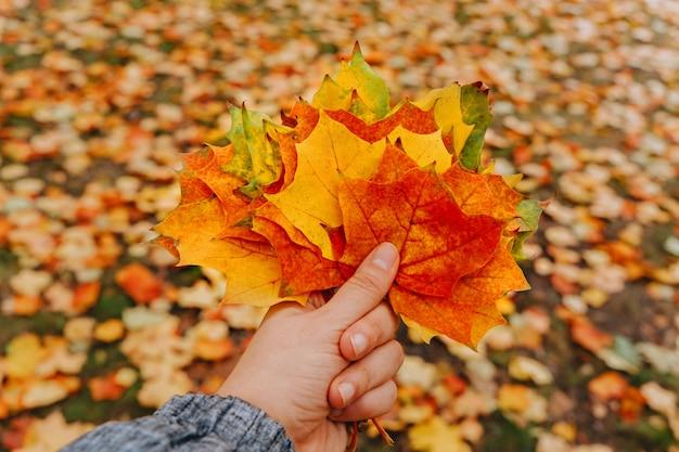 Осенние кленовые листья в руке женщины