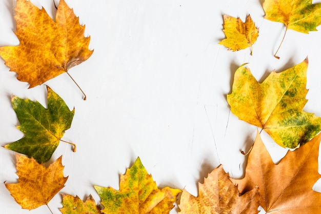 Autumn maple leaves isolated on a gray.