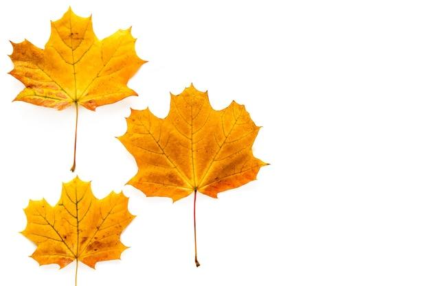 가 단풍에 고립 된 흰색 배경. 템플릿 모형 가을, 할로윈, 추수 감사절 개념. 평면 위치, 평면도, 복사 공간 배너