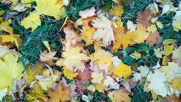 紅葉は草の上に横たわる
