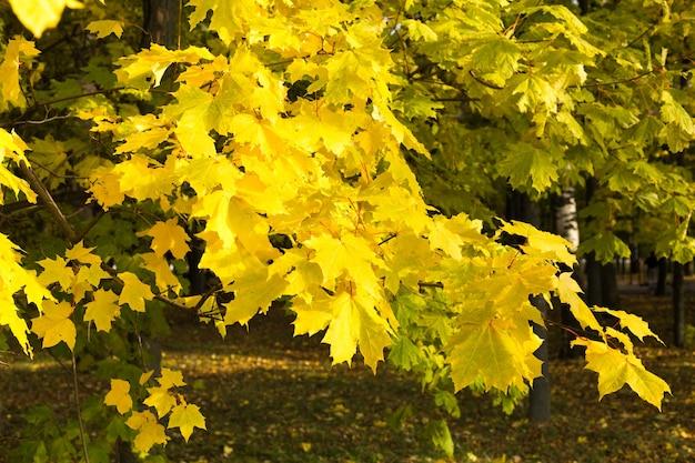 Осенние кленовые листья. октябрь.