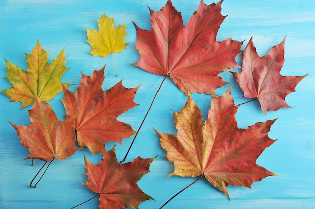 Autumn maple leaves red and yellow on a blue wooden surface