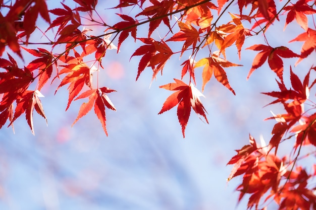 Autumn maple momiji leaf in blue sky background