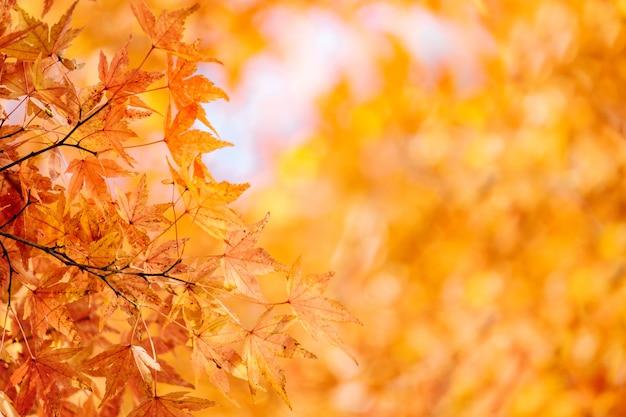 Autumn maple momiji leaf