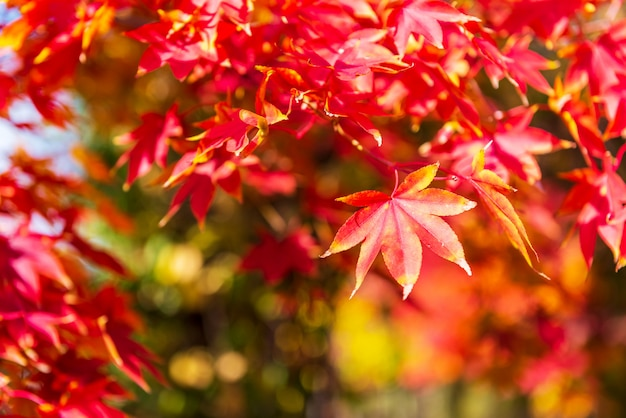 Осенний клен фон