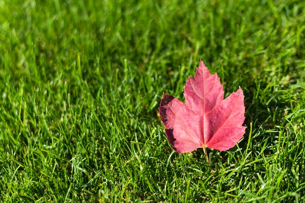 Autumn maple tree leaf on green grass, top view. fallen red leaf on green lawn, natural background. fall season concept. autumn atmosphere image