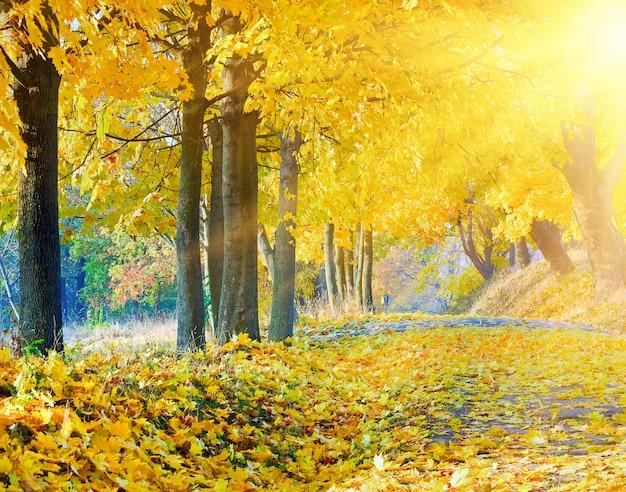 Осенние клены в осеннем городском парке и вечернее солнце за листвой деревьев