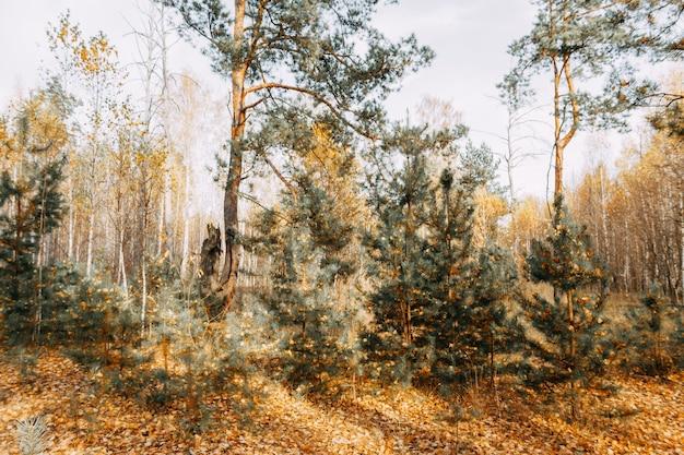 太陽の光の中で秋の混交林。松、白樺、黄色い落ち葉のもみ。秋の風景。