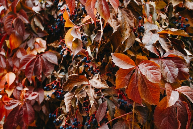 Autumn multi-colored ivy closeup background