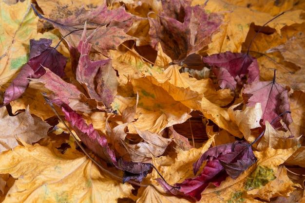Осень. разноцветные кленовые листья лежат на траве