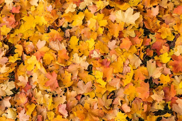 Autumn natural background with bright maple leaves