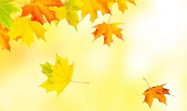 Autumn natural background with yellow and red maple leaves are flying and falling down.