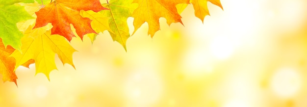 Autumn natural background with yellow and red maple leaves.