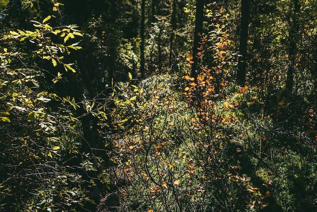 黄金の日差しの中で多色の葉と秋の自然の背景。日当たりの良い秋の森の太陽に照らされたオレンジと赤の葉を持つ野生の茂みのフルフレーム。秋の森の日光と自然の背景。