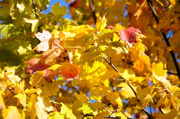 秋の自然。黄色の葉、色とりどりのカエデの葉を持つ木の枝