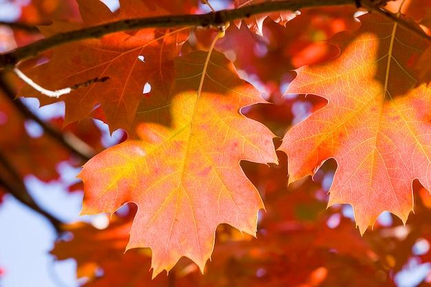 Autumn oak foliage on trees