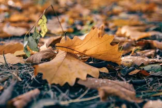 Осенние листья дуба упали на лужайку