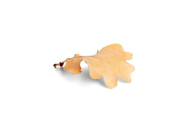 Autumn oak tree leaf isolated on a white background. high quality photo