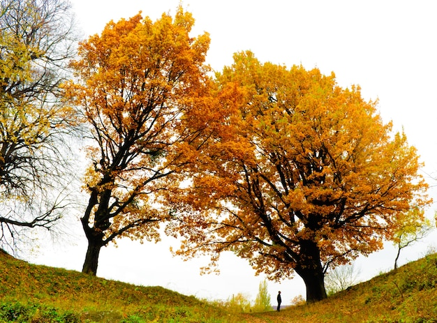 Autumn oak and yellow falling leves with lonely man
