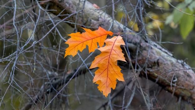 乾燥した枝の森の秋のオレンジ色のオークの葉