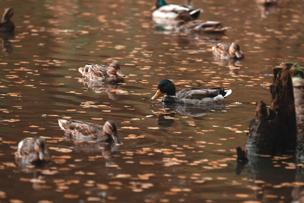 In the autumn park the drake swims in the lake, surrounded by ducks.