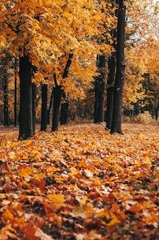 Осенний парк деревьев и опавшие осенние листья на земле в парке в солнечный октябрьский день.