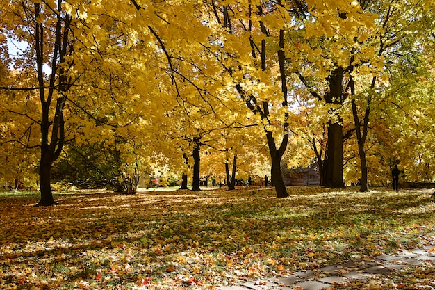 Autumn park with colorful yellow foliage on the trees and fallen leaves on the ground