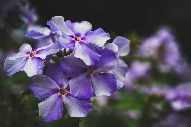 어두운 배경에 가을 플록스 꽃 라일락 꽃