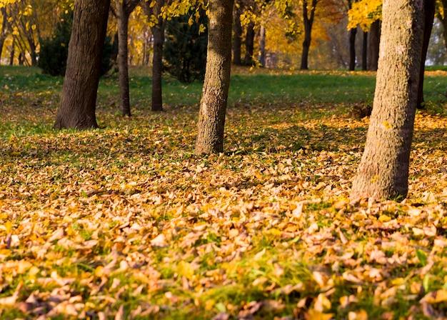 Осенние фото с большим количеством желтых деревьев в парке, покрытых большим количеством листвы