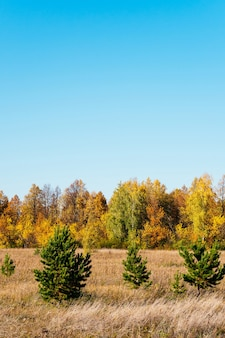 Autumn picturesque sunny landscape. field with dry grass, green christmas trees, yellow trees against the blue sky