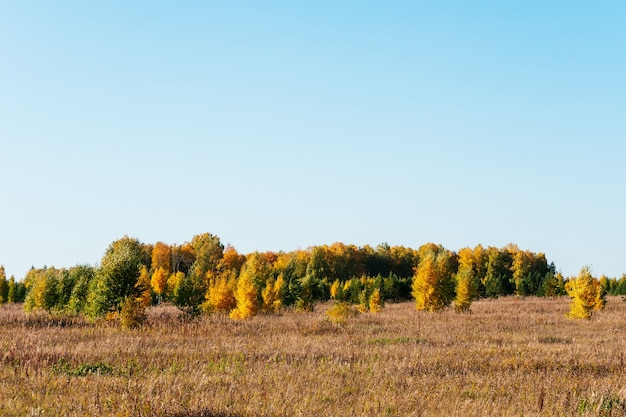 Autumn picturesque sunny landscape. field with dry grass, green christmas trees, yellow trees against the blue sky.