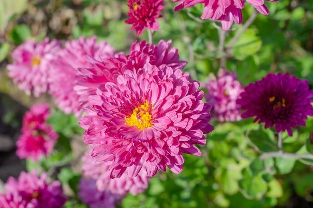 晴れた日の秋のピンクの菊の花
