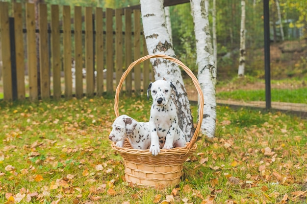 Осенний портрет двух милых далматинских собак с черными и коричневыми пятнами. улыбающийся чистокровный далматин в саду