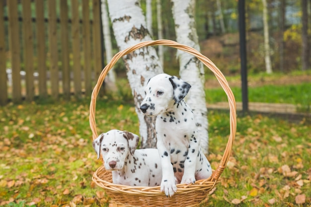 Autumn portrait of two cute dalmatian dogs with black and brown spots. smiling purebred dalmatian in garden
