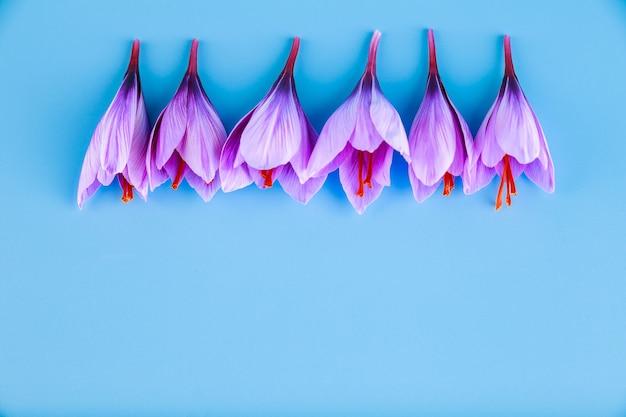 ターコイズブルーの背景に秋の紫色のサフランの花が並んでいます。あなたのテキストのための場所。スペースをコピーします。