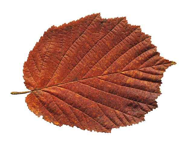 Autumn red alder leaf isolated on white