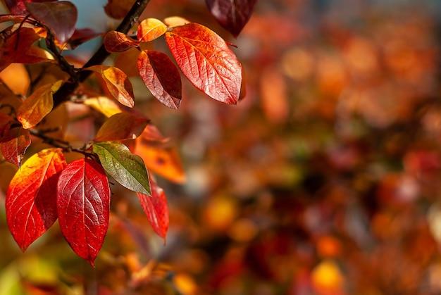 Осенние красные и оранжевые листья черноплодной рябины, aronia melanocarpa, на размытом фоне.